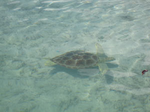 Turtle in mangrove creek near Fernandez Bay, Cat Island, Bahamas 4-2009